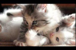 بالصور صور قطط صغيرة , قطط شكلها جميل 1859 11 310x205