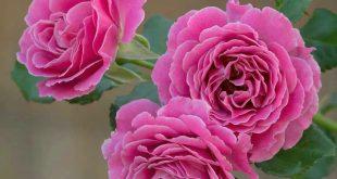 بالصور صور زهور , صور لاروع الزهور 5431 10 310x165