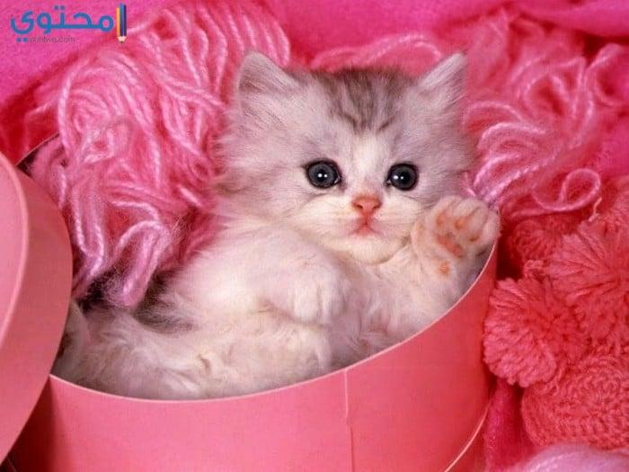 بالصور خلفيات قطط , قطط كيوت جميله 6105 1