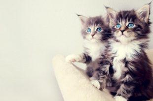 بالصور خلفيات قطط , قطط كيوت جميله 6105 11 310x205