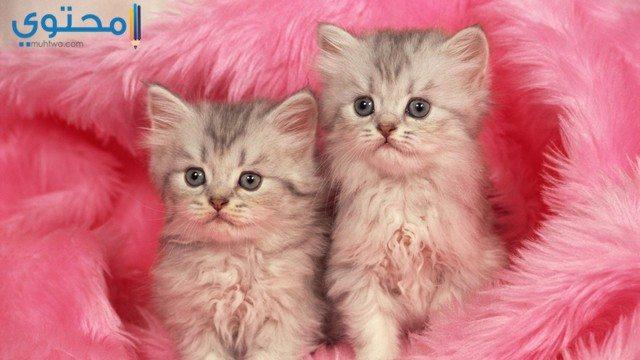 بالصور خلفيات قطط , قطط كيوت جميله 6105 7