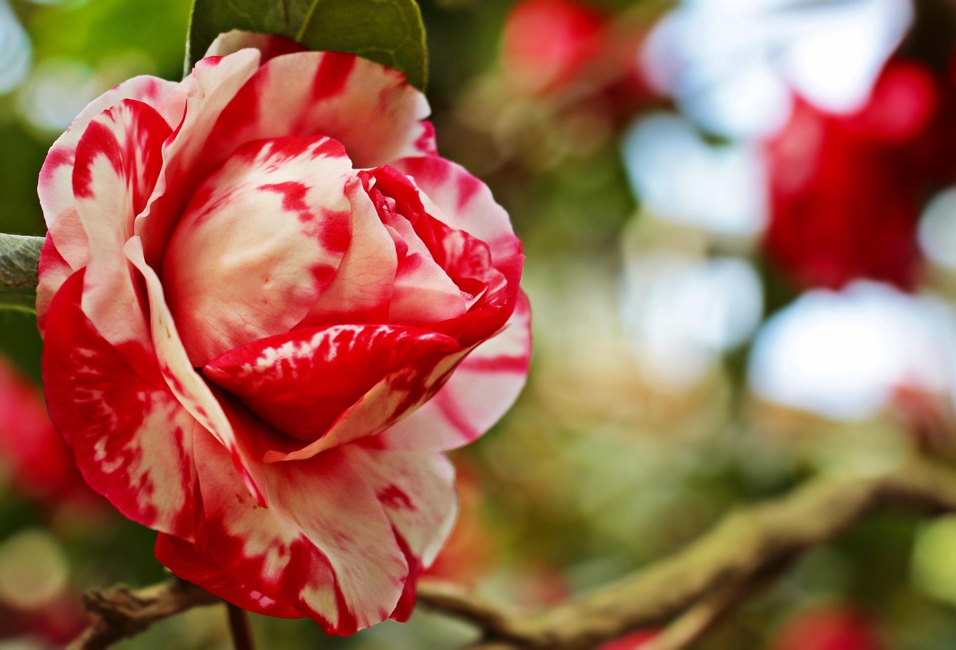 بالصور صور ورد جميل , ارق و اروع انواع الورود 6206 1
