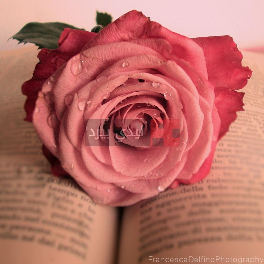 بالصور صور ورد جميل , ارق و اروع انواع الورود 6206 5