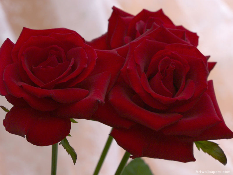 صورة صور ورد جميل , ارق و اروع انواع الورود