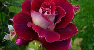 بالصور اجمل صور الورد , ازهار و ورود رائعه 6455 10 310x165