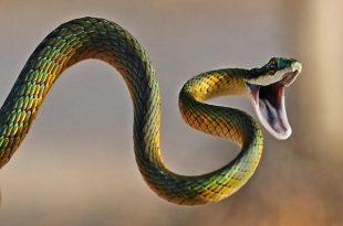 بالصور تفسير رؤية الثعبان الكبير في المنام , معني الثعبان في الحلم 6499 3 310x205