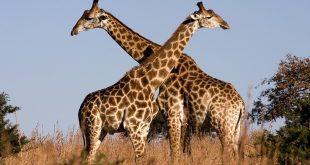 بالصور حيوانات تعيش في الغابة , تعرف علي الحيوانات البرية 12444 10 310x165
