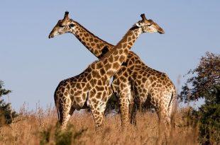 بالصور حيوانات تعيش في الغابة , تعرف علي الحيوانات البرية 12444 10 310x205
