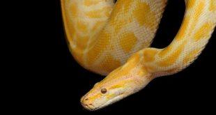 صورة ثعبان اصفر في المنام , العداوة من الثعابين