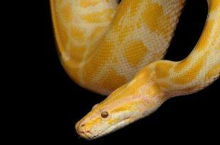 صور ثعبان اصفر في المنام , العداوة من الثعابين
