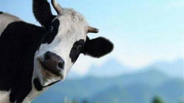 صوت البقرة معلومات عنها 4