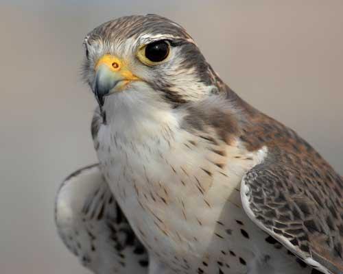 صورة معلومات عن صقر الشاهين , الطيور الجارحه من الصقور