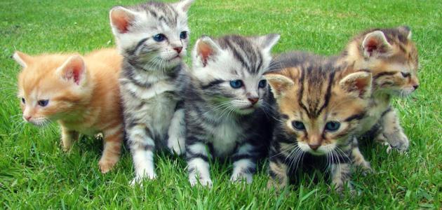 صور علاج فطريات القطط , عدوي بتنتقل بين القطط