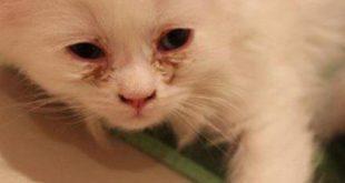 علاج فطريات القطط , عدوي بتنتقل بين القطط