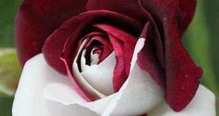 صورة اجمل وردة بالعالم , لغة الورد جذابة