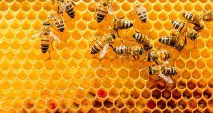 صورة فوائد غذاء ملكات النحل ، فوائدها على جسم الانسان