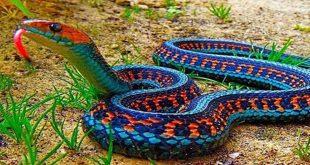 صورة انواع الثعابين,ومن أنواع الثعبان ماهو سام وغير سام