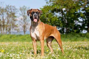 صورة نوع معين من الكلاب تعرف عليه, صور كلاب بوكسر