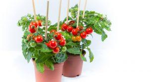صورة لو بتحبي الزرعة دي تعالي اقولك طريقة سهلة, زراعة الطماطم فى المنزل